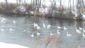 Swans (3)